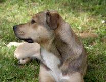 Le chien de stafford Photos stock