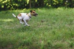 Le chien de terrier de Fox fonctionne sur une vallée verte pendant l'été Images stock