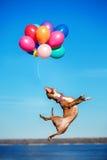 Le chien de terrier de Staffordshire américain saute dans le ciel pour attraper des ballons de vol Photo stock
