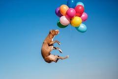 Le chien de terrier de Staffordshire américain saute dans le ciel pour attraper des ballons de vol Photographie stock