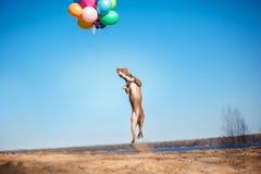 Le chien de terrier de Staffordshire américain saute dans le ciel pour attraper des ballons de vol Photos libres de droits