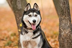 Le chien de traîneau adulte de chien avec les yeux bruns en parc d'automne a collé sa tonne photos stock