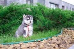 Le chien de traîneau de chiot attend sur la rue, avec l'espace de copie le texte, concept isolé d'amour photos stock