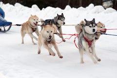 Le chien de traîneau et le malamute désireux de traîneau d'équipe de sport à la finition du chien emballent image libre de droits