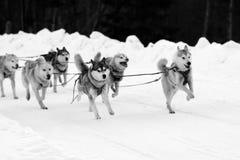 Le chien de traîneau et le malamute désireux de traîneau d'équipe de sport à la finition du chien emballent image stock