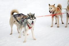 Le chien de traîneau et le malamute désireux de traîneau d'équipe de sport à la finition du chien emballent images libres de droits