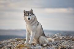 Le chien de traîneau de Gray Siberian se repose au bord de la roche et regarde vers le bas Photos libres de droits