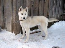 Le chien de traîneau sibérien Photographie stock
