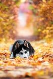 Le chien de traîneau sibérien aux yeux bleus Photographie stock