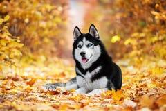 Le chien de traîneau sibérien aux yeux bleus Photos stock