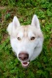 Le chien de traîneau sibérien la couleur rouge que peu commune recherche attend la commande ou les festins délicieux pendant la p Photographie stock
