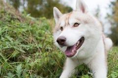 Le chien de traîneau sibérien la couleur rouge que peu commune recherche attend la commande ou les festins délicieux pendant la p Images libres de droits
