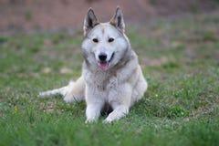 Le chien de traîneau sibérien occidental Photographie stock