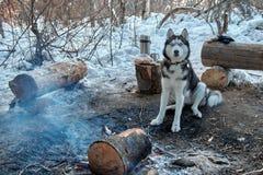 Le chien de traîneau sibérien de portrait se reposant par le feu de camp chez le chien de forêt d'hiver regarde l'appareil-photo  Image libre de droits
