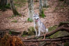 Le chien de chien de traîneau sibérien se tient et pense à l'avenir Images stock