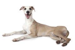 Le chien de whippet se trouvant au-dessus du blanc Image stock