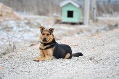 Le chien de yard se repose attaché Photo stock