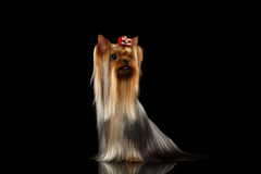 Le chien de Yorkshire Terrier avec de longs cheveux toilettés se repose sur le noir Photos libres de droits