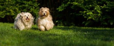 Le chien deux havanese heureux fonctionne vers l'appareil-photo dans les gras image stock