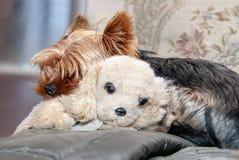 Le chien dort avec un jouet de peluche image stock