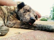 Le chien dort pour une langue confortable et lisse sur le plancher images stock