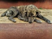 Le chien dort pour une langue confortable et lisse sur le plancher image stock