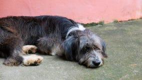 Le chien dort sur le plancher Images libres de droits