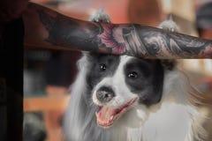 Le chien drôle de border collie met des pattes en main avec le tatouage Photographie stock