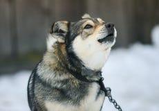 Le chien drôle écorce fort la bouche grande ouverte sur la chaîne Photographie stock libre de droits