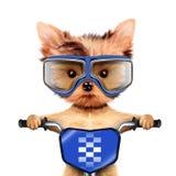 Le chien drôle de coureur avec le vélo et l'aviateur google Image libre de droits