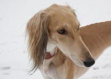 Le chien du lévrier oriental de lévrier asiatique central Photographie stock libre de droits