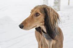 Le chien du lévrier oriental de lévrier asiatique central Photo stock