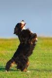 Le chien dupent photo libre de droits
