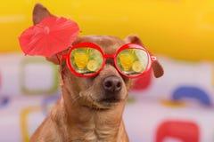 Le chien en verres rouges avec un cocktail se connectent l'oreille, réflexion en cocktail tropical en verre, sur coloré lumineux photographie stock libre de droits