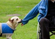 Le chien enlève la veste sur son propriétaire handicapé photos stock