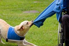 Le chien enlève la veste sur son propriétaire handicapé images stock