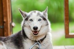 Le chien enroué d'Alaska regarde directement la caméra tandis que 3/3 heureux photos stock
