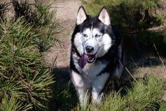 Le chien enroué est tenant et montrant la langue Forêt conifére de parc, chasseur, un loup sauvage affamé images libres de droits