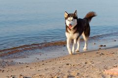 Le chien enroué fonctionnant sur le bord du ` s de l'eau, le chien fonctionnant sur la plage, le chien a collé sa langue image stock