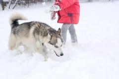 Le chien enroué a un museau insidieux drôle pendant l'hiver Photographie stock