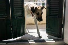 Le chien entre dans la pièce photos libres de droits