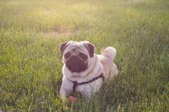 Le chien essuie le mensonge sur l'herbe verte avec la boule rouge Images libres de droits