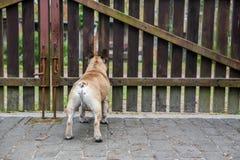 Le chien est à la barrière images libres de droits