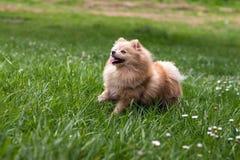 Le chien est herbe courante photographie stock