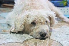 Le chien est spiritlessly Images libres de droits