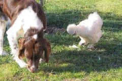 Le chien et la poule est photo libre de droits