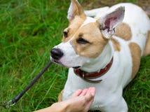 Le chien exécute la commande et attend des sucreries Photo libre de droits