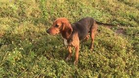 Le chien femelle de jeune briquet d'une manière amusante avec de longues oreilles, chiot espiègle, chasse et sembler droits, dépe banque de vidéos