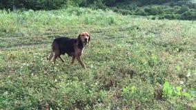 Le chien femelle de jeune briquet d'une manière amusante avec de longues oreilles, chiot espiègle, chasse et sembler droits, dépe clips vidéos