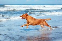 Le chien fonctionnent par la plage de sable le long du ressac de mer Photographie stock